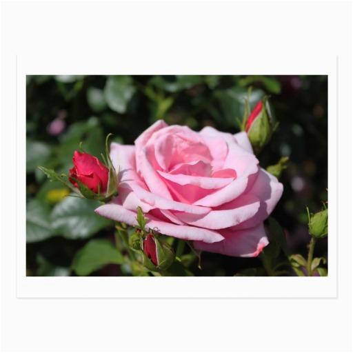 pink rose flowers happy birthday love girlfriend
