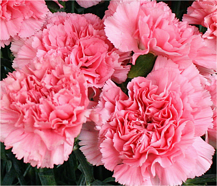 carnation is the birthday flower for january but it gets
