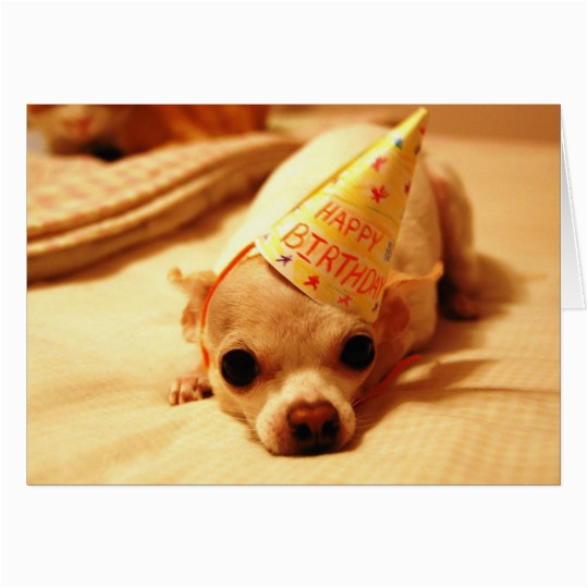 cute chihuahua dog greeting card 137907208414599747