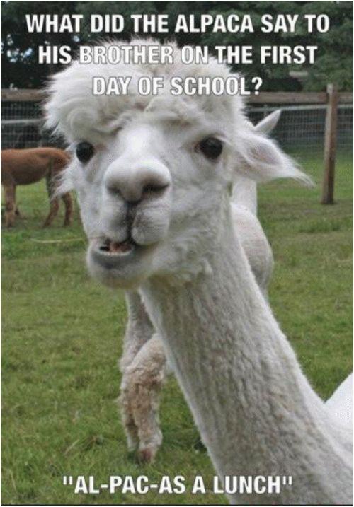 happy birthday alpaca memes