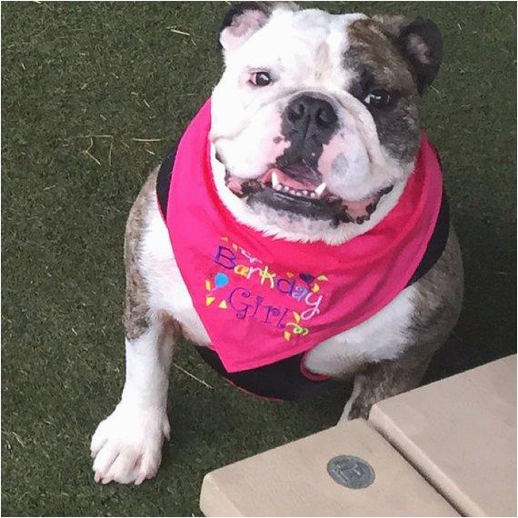 barkday girl or barkday boy dog bandana