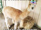 Alpaca Birthday Meme Alpaca Birthday Alpacas Llama Birthday Happy Birthday