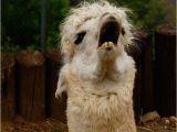 Alpaca Birthday Meme Birthday Excursion Alpaca Lunch Make A Meme