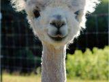 Alpaca Birthday Meme so I Herd U Like Alpaca Puns Sheldon the Alpacalypse