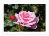Best Birthday Flowers for Girlfriend Pink Rose Flowers Happy Birthday Love Girlfriend