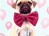 Birthday Card for A Dog Pug Dog Happy Birthday Greeting Card Cards