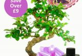 Birthday Delivery Gifts for Her Flowering Bonsai Birthday Kit for Her with Free Delivery