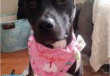 Birthday Girl Dog Bandana Birthday Girl Dog Bandana Dog Birthday by Cedarstreetgraphics