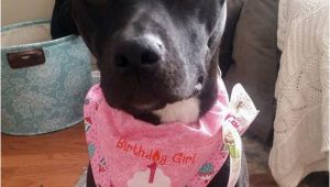 Birthday Girl Dog Bandana Birthday Girl Dog Bandana Dog Birthday by Cedarstreetgraphics