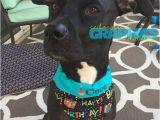 Birthday Girl Dog Bandana Birthday Pet Bandana Dog Birthday Scarf Birthday Girl