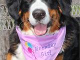 Birthday Girl Dog Bandana Girl Birthday Dog Bandana In Tie Style Sizes by