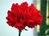 Carnation Birthday Flowers 45 Wonderful Carnation Flowers for Bride Golfian Com
