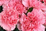 Carnation Birthday Flowers Carnation is the Birthday Flower for January but It Gets