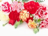 Carnation Birthday Flowers Different Kinds Of Carnations Flower Press