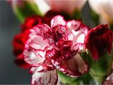 Carnation Birthday Flowers Guide to Birthday Flowers by Month Blooms today