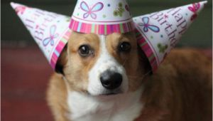 Corgi Birthday Meme 44 Best Images About Birthday Animals On Pinterest