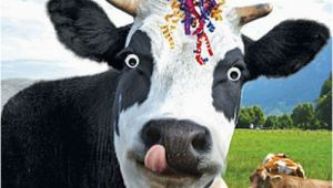 Cow Birthday Meme Details About Funny Cow Streamers Birthday Card Happy