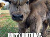 Cow Birthday Meme Happy Birthday Cow Meme Best Happy Birthday Wishes