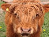 Cow Birthday Meme Happy Birthday Cow Style Youtube