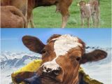 Cow Happy Birthday Meme Cow Memes Best Collection Of Funny Cow Pictures