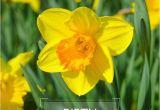 Daffodil Birthday Flowers Best 25 March Birth Flowers Ideas On Pinterest Birth