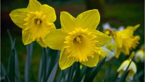Daffodil Birthday Flowers Best Flowers In the World Flowers Of England