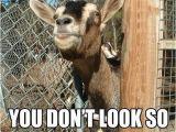Funny Animal Birthday Memes Happy Birthday Mr Goat Babygoatfarm Goats Funny