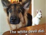 German Shepherd Birthday Meme 20 Cute and Funny German Shepherd Memes Sayingimages Com