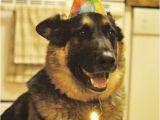 German Shepherd Birthday Meme 21 Things that Make German Shepherds Happy