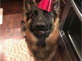 German Shepherd Birthday Meme 25 Best Ideas About Birthday Meme Dog On Pinterest