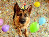 German Shepherd Birthday Meme Birthday Shepherd Blank Template Imgflip