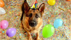 German Shepherd Birthday Meme Birthday Shepherd Blank Template Imgflip