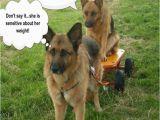 German Shepherd Birthday Meme Funny Gsd Memes Page 5 German Shepherd Dog forums