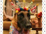 German Shepherd Birthday Meme Pin by Julie Presnell On Happy Birthday Puppy Birthday