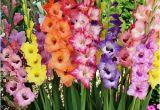 Gladiolus Birthday Flowers Birth Flower Of August Gladiolus Poppy 2happybirthday