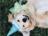 Golden Retriever Birthday Meme 25 Best Ideas About Birthday Meme Dog On Pinterest
