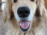 Golden Retriever Birthday Meme 25 Best Memes About Coopers Coopers Memes