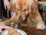 Golden Retriever Birthday Meme the Gallery for Gt Happy Birthday Meme Facebook