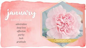 January Birthday Flowers January Birth Flower Carnation Ftd Com