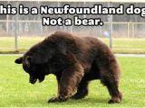 Newfie Birthday Meme Angry torro the Glorious Newfoundland Dog