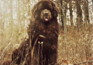 Newfie Birthday Meme Best 25 Happy Birthday Puppy Ideas On Pinterest Happy
