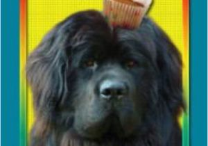Newfie Birthday Meme Happy Birthday Newf Goofy Newfies Pinterest