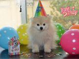 Pomeranian Birthday Card tommy the Pomeranian Guess who S Birthday It is It S