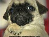 Pug Birthday Memes Best 25 Happy Birthday Pug Ideas On Pinterest Pug