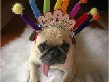 Pug Birthday Memes Birthday Pug Party Pugs Happy Birthday Animals Happy