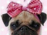 Pug Birthday Memes Happy Birthday Pug Pictures Photos and Images for