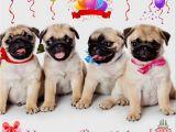Pug Birthday Memes Happy Birthday Sister Pug Meme Google Search Pugs