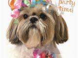 Shih Tzu Birthday Cards Shih Tzu Shihtsu Party Blank Birthday Greeting Card Dog