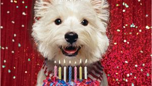 Westie Birthday Cards Westie Birthday Card Birthday Glitz West Highland White